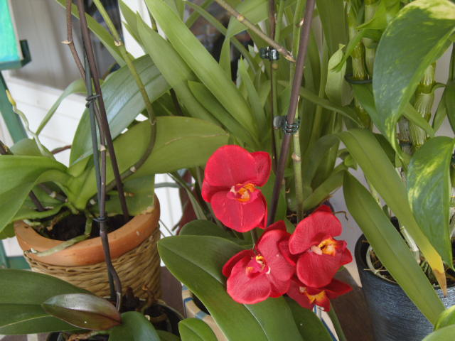 tricherie Orchid28