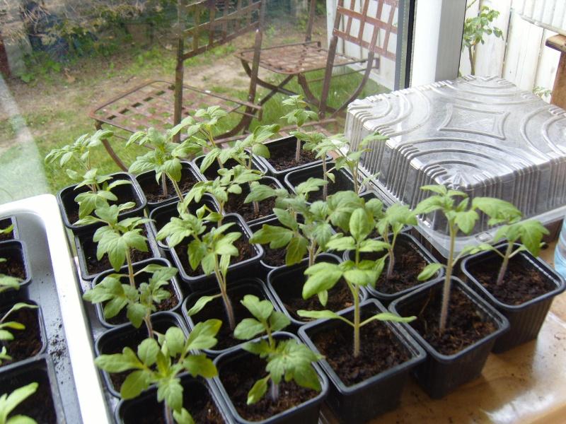 elles attendent le beau temps bien à l'abri ! Tomate13