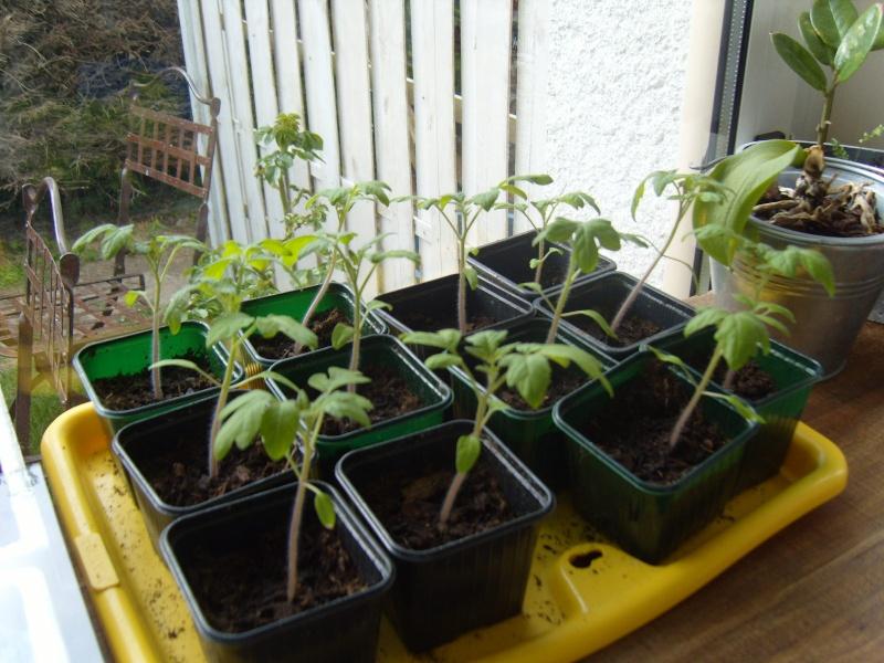 elles attendent le beau temps bien à l'abri ! Tomate14