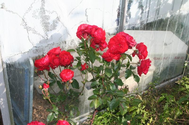 rosiers Img_0210