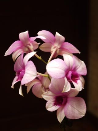 Info s/ Orchidée Aout_211