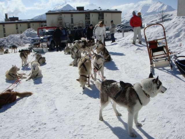 chiens de traineau Dsc01810