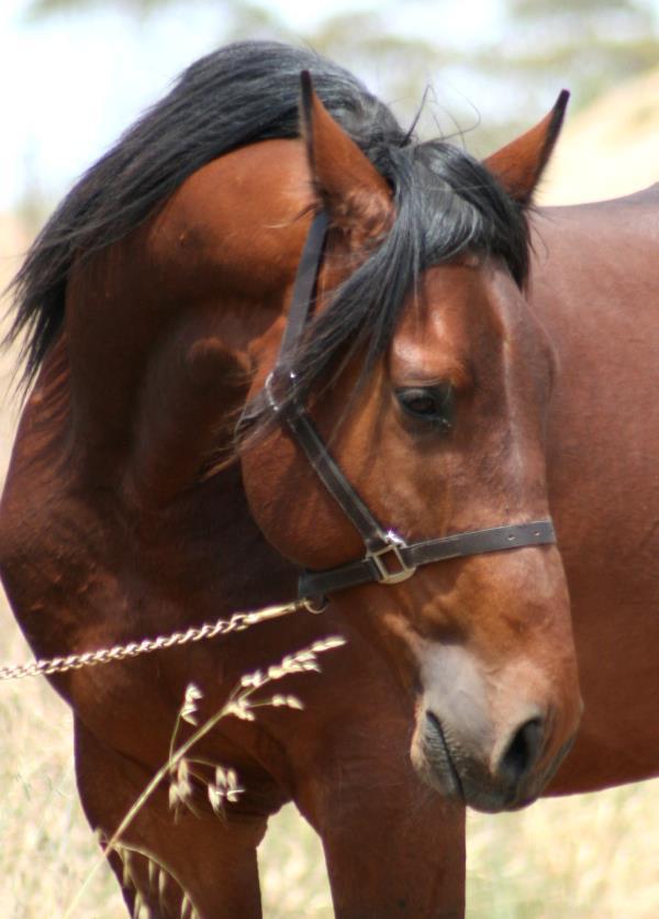 CM Bedford Forrest - Cleveland Bay Sporthorse 1_forr18