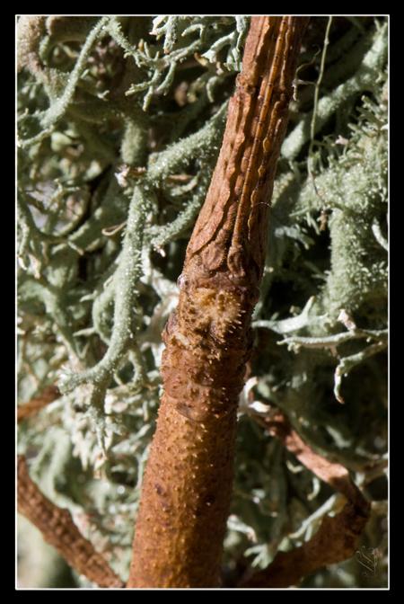 Pterinoxylus crassus (P.S.G. n°281) Pc_f_a11