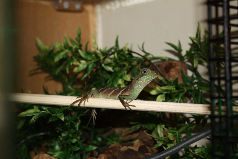 Chinese Water Dragon Pictur17