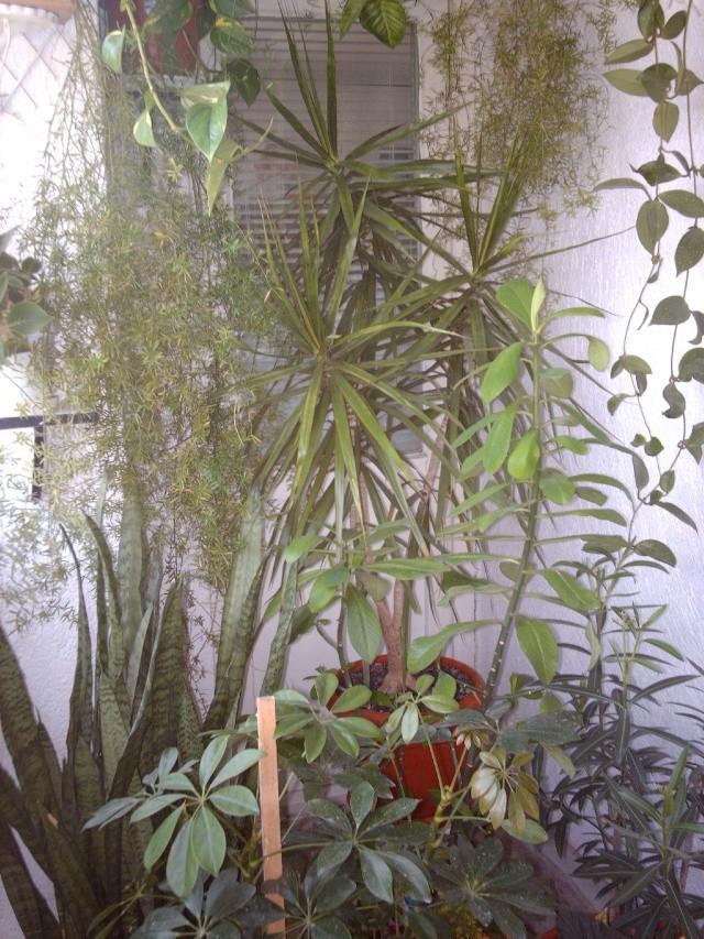 florile din apartament/gradina - Pagina 7 Img_0512