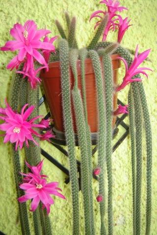 Florile din apartament - Pagina 6 Pictu283