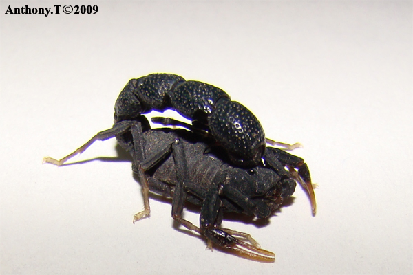 Orthochirus sp (Djibouti) - Anthony.T Ortoch10