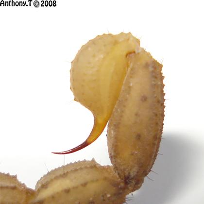 Hottentotta trilineatus  (Djibouti) - Anthony.T Telson10