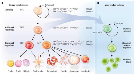 Teoria CSCs: le staminali del cancro Stemle10