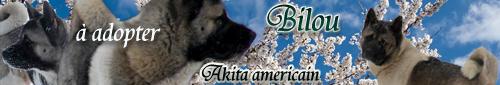Bilou AKITA AMERICAIN ADOPTE - Page 2 Biloub10