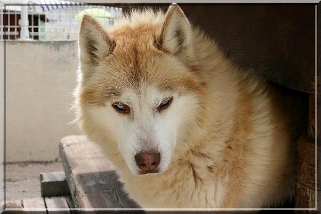 CHARLIE, superbe Husky roux, attend depuis trop longtemps: 10 ans REF51DECEDE - Page 3 Img_6210