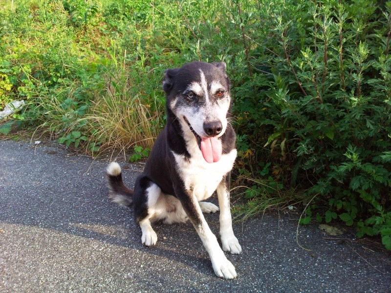 Bergson x husky mâle de 9 ans  ADOPTE Photo010