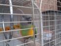 Le canard de Barbarie 4810