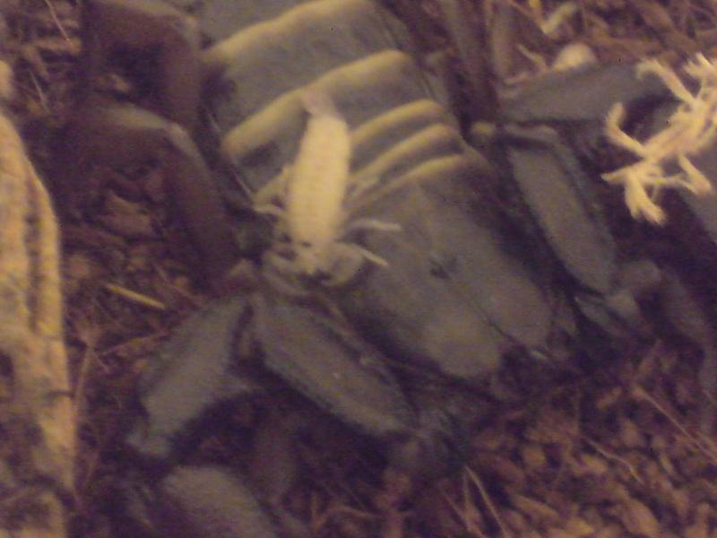Hadgones paucidens popped :D Scorp112