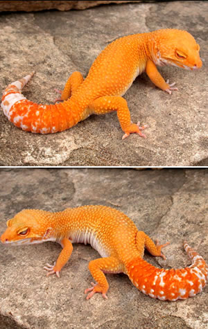 Thinking of starting up a Leopard Gecko colony again Sunglo10