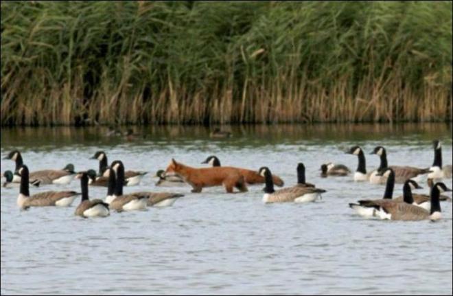 مصور يلتقط صور نادرة لثعلب وسط مجموعة من البط  410-1-10