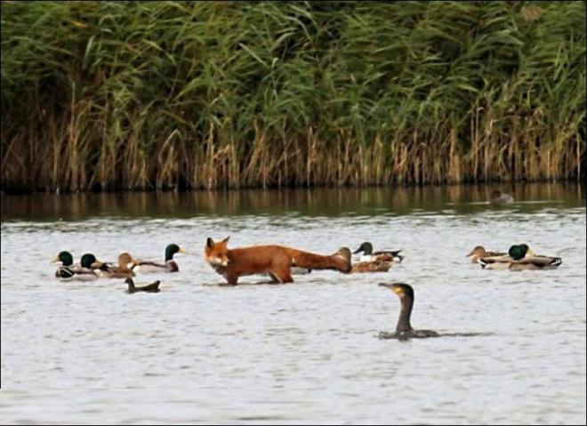 مصور يلتقط صور نادرة لثعلب وسط مجموعة من البط  410-2-10