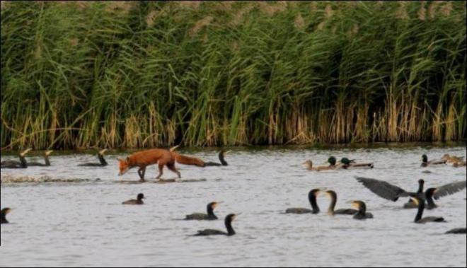 مصور يلتقط صور نادرة لثعلب وسط مجموعة من البط  410-3-10