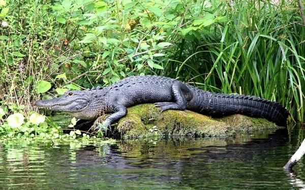 ماذا تعرف عن التمساح الأمريكي وما مدى خطورته؟  Americ11