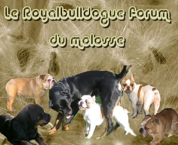 le royalbulldogue