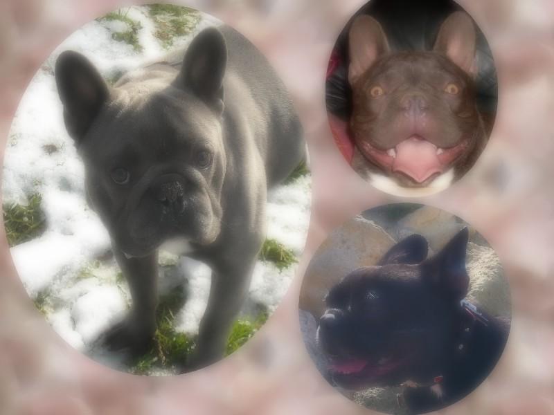 Le royalbulldog french Ouest