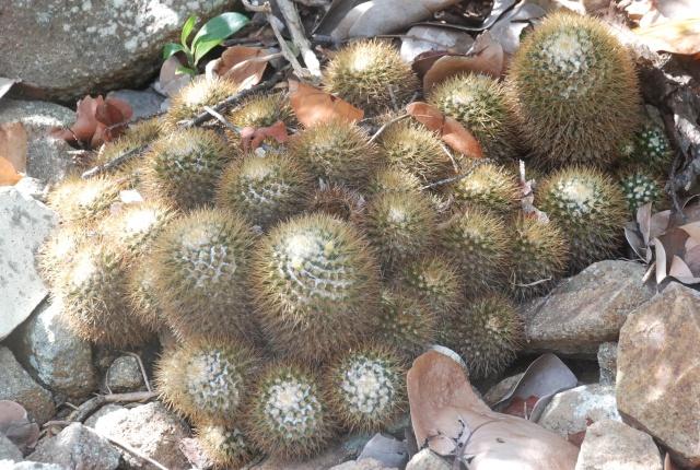 Mammillaria nivosa M_nivo12