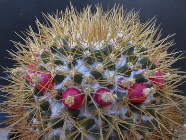 Mammillaria nivosa Novisa10