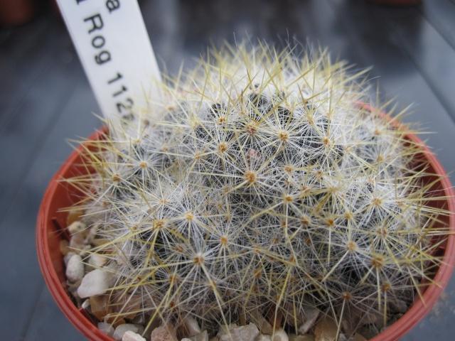 M. prolifera ID. Rog_1110