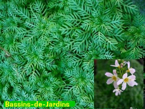 Hottonia palustris Hotton12