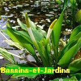 Orontium aquaticum ou Flamme d'eau Untitl11