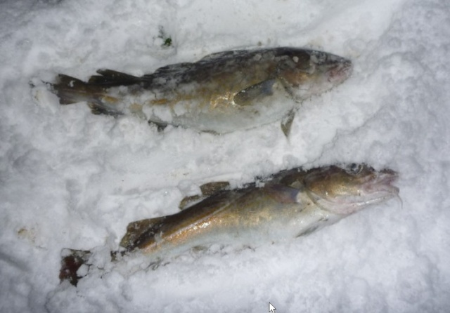 Cod in Arctic conditions Screen18
