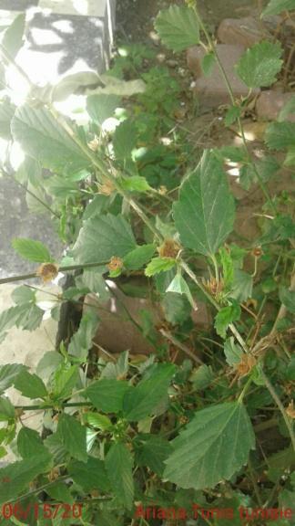 damiana plante mexicaine relaxante et aphrodisiaque 20200614