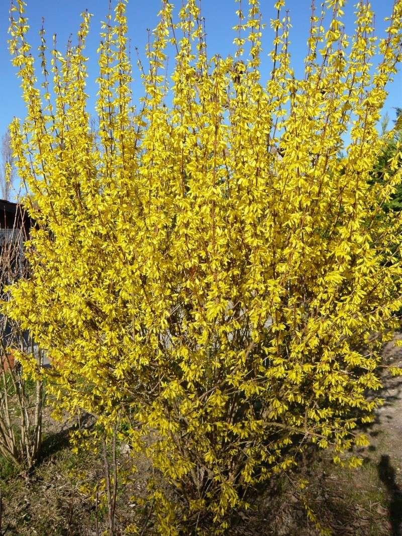 Vote pour le plus bel  arbre printanier fleuri Forsyt10