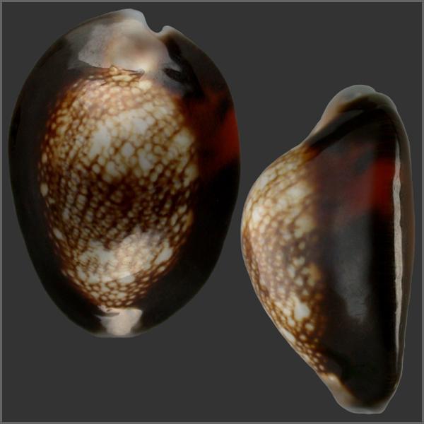 Monetaria caputserpentis f. aruni - (Lorenz, 2017) 1360_c10