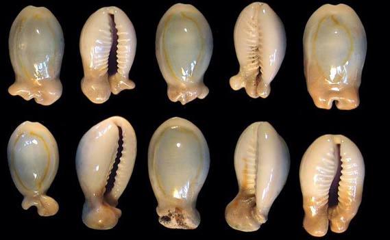 Monetaria annulus f. appendicula - (Lorenz, 1999) ou bunny Annulu10