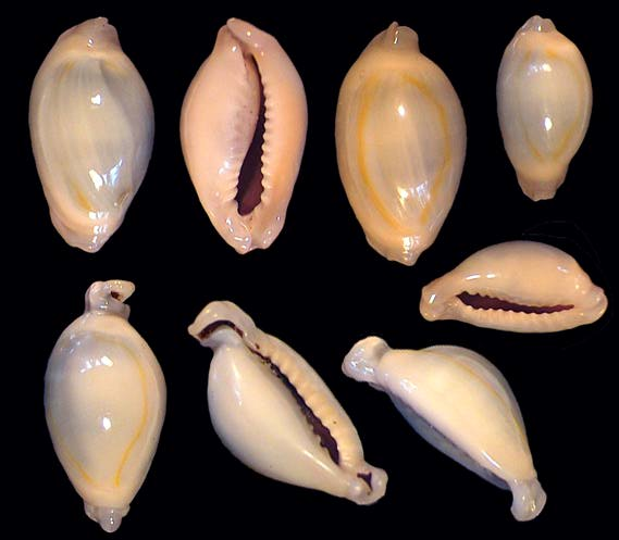 Monetaria annulus f. appendicula - (Lorenz, 1999) ou bunny Annulu13