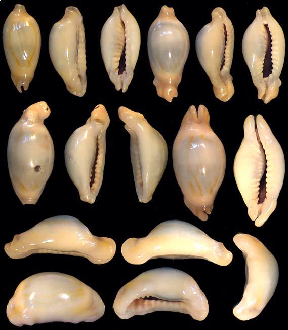 Monetaria annulus f. appendicula - (Lorenz, 1999) ou bunny Annulu14