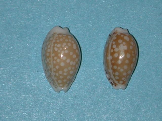 Cribrarula taitae - (Burgess, 1993) Cribra10