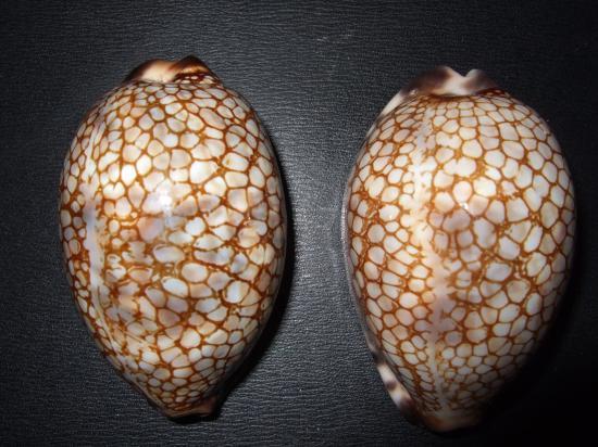 Mauritia histrio - (Gmelin, 1791) Dscf2110