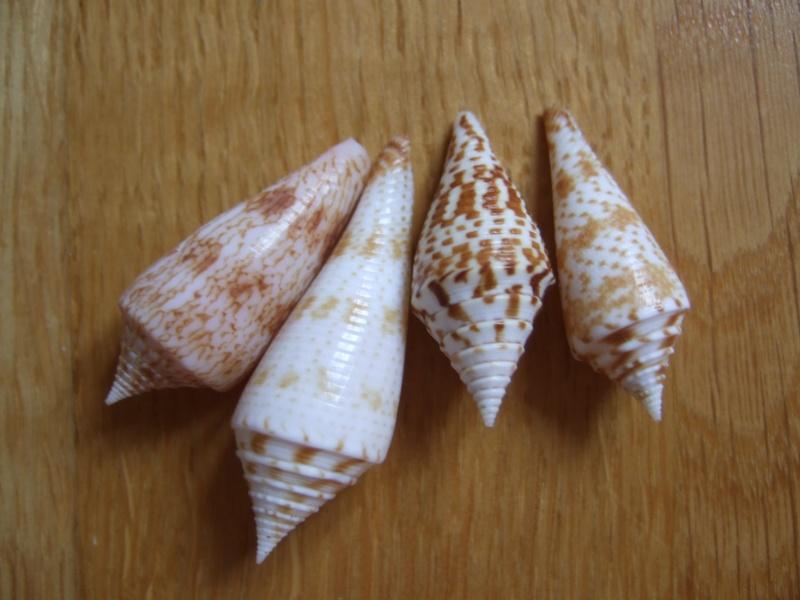 Les cones des Philippines... Dscf2226