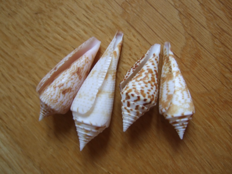 Les cones des Philippines... Dscf2227