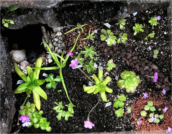 Réalisation d'un terrarium paysagé pour plantes carnivores Bas_pi10