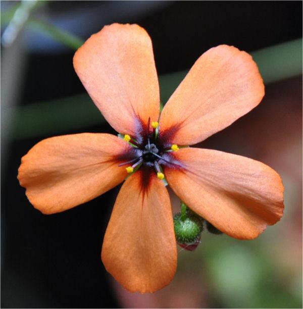 Quelques fleurs de droseras  D_hype10