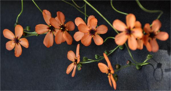 Quelques fleurs de droseras  D_hype11