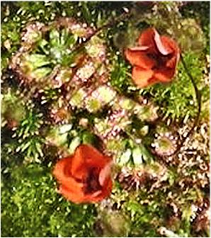 Fleur de drosera bleue …. rose …. blanche …. non orange D_plat10
