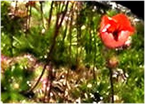 Fleur de drosera bleue …. rose …. blanche …. non orange D_plat12
