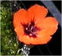 Fleur de drosera bleue …. rose …. blanche …. non orange D_plat13