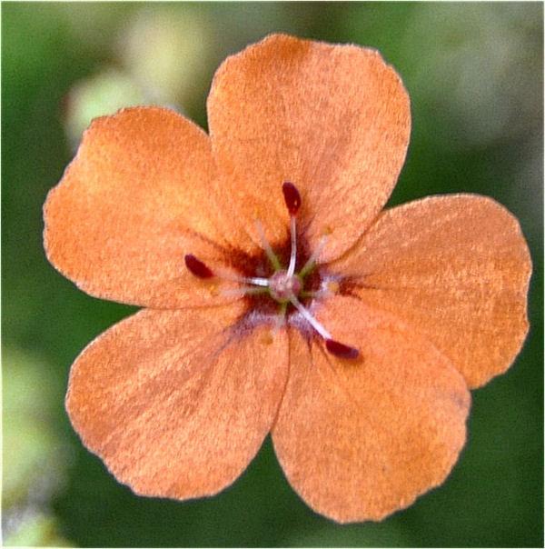 Quelques fleurs de droseras  D_plat14