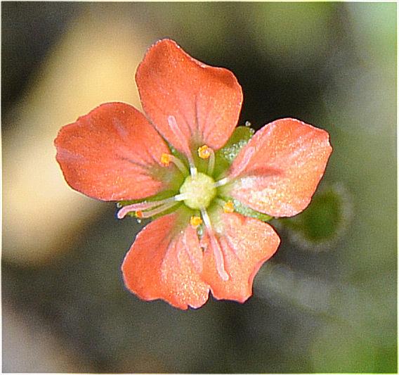 Quelques fleurs de droseras  D_pulc10